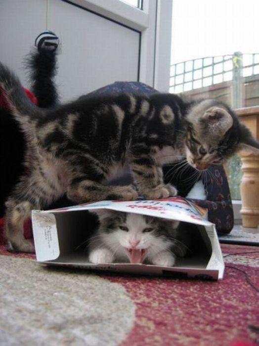chaton-ecrase-carton