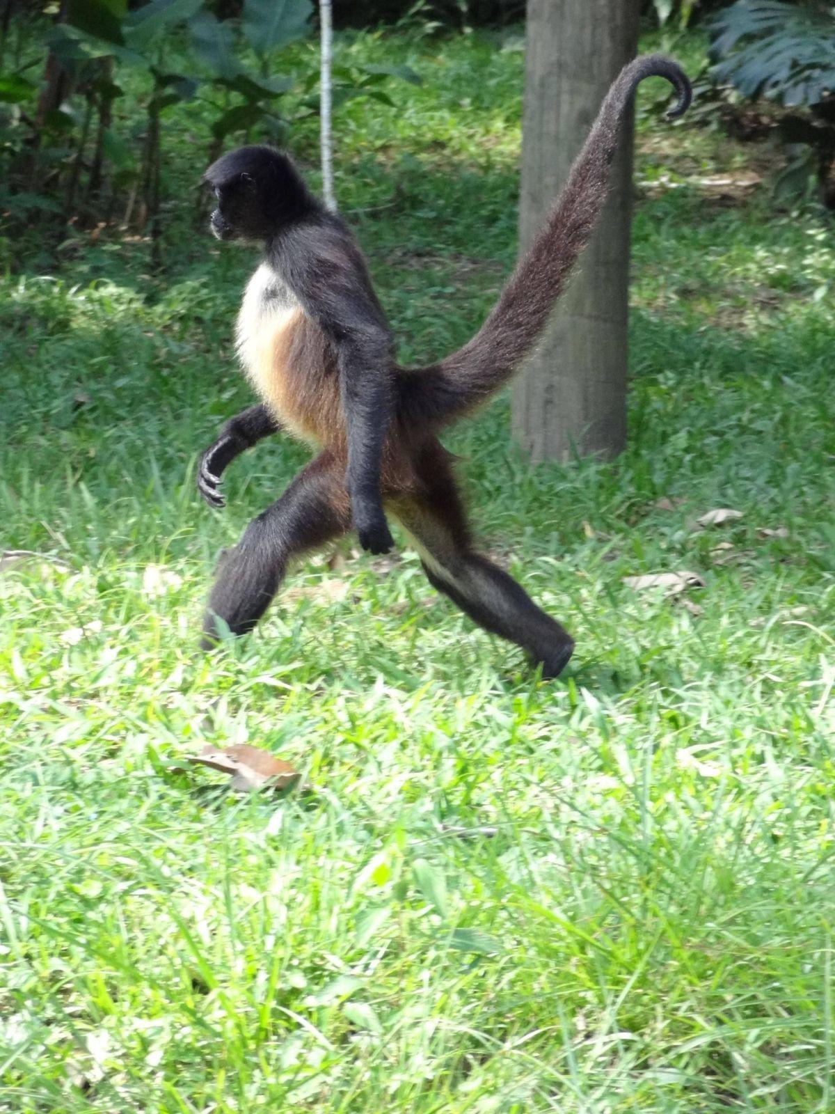 singe-marche-debout