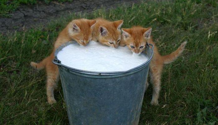 3-chatons-qui-boivent-lait-dans-seau