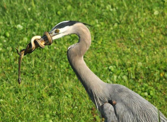 serpent-ferme-bec-heron