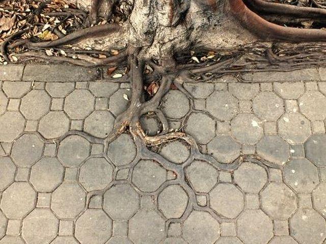 racines-arbre-trottoir
