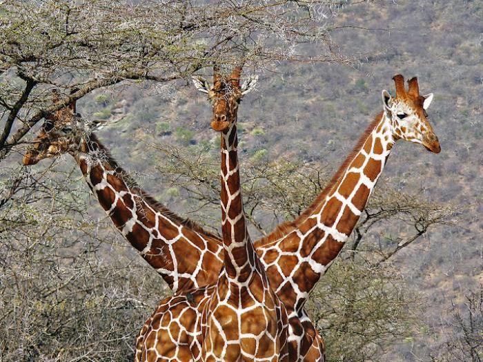 girafe-3-tetes
