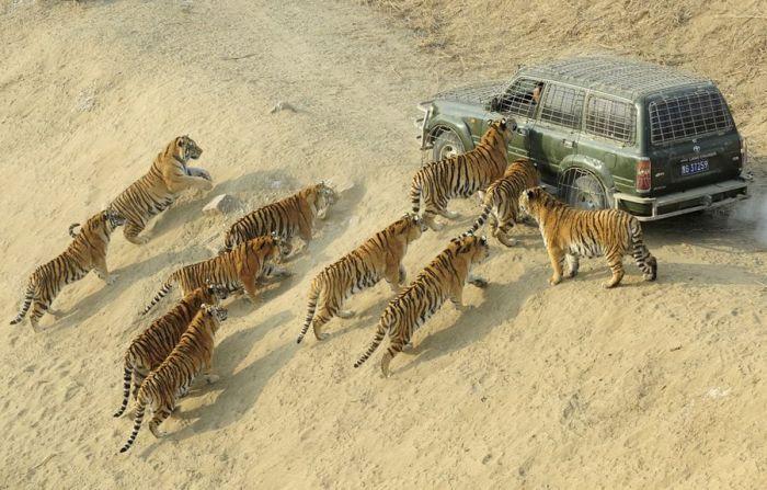 humains-conserve-tigres