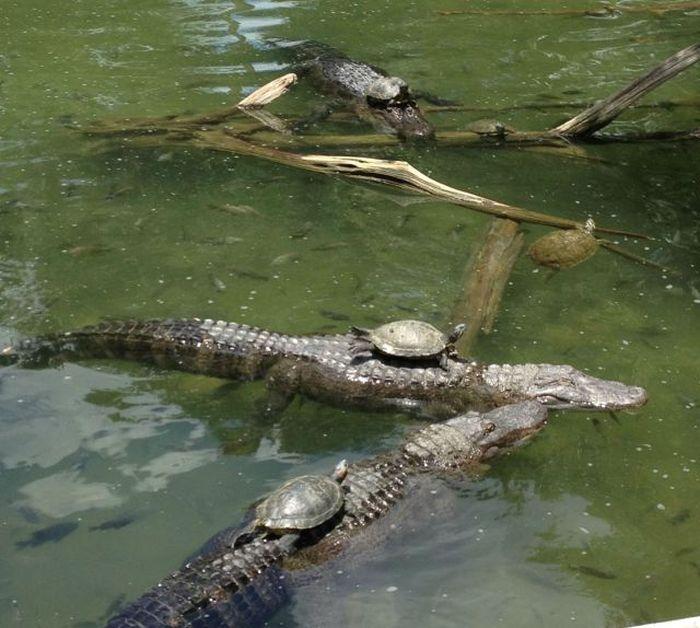 tortues-transportees-crocodiles