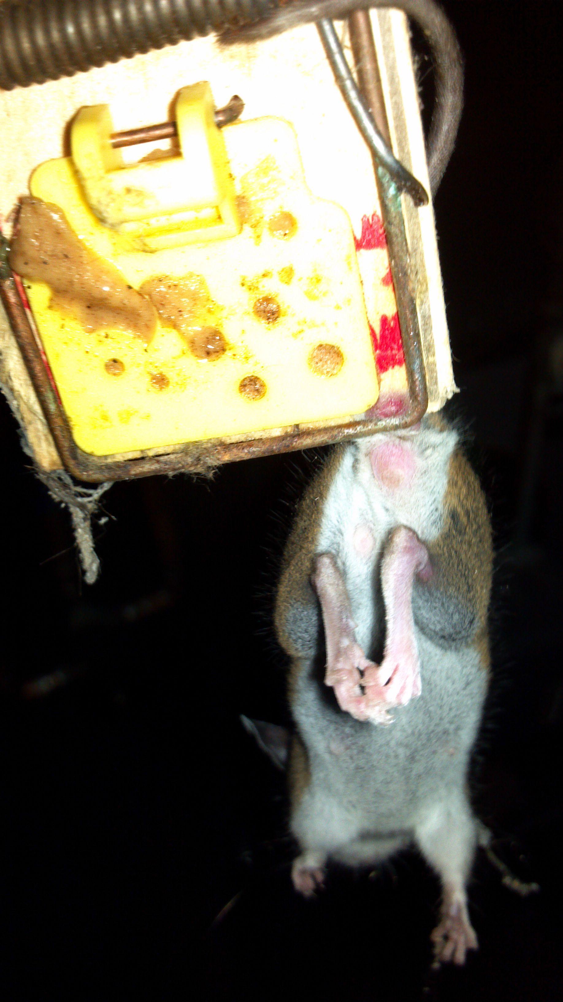 une-souris-attrape-par-les-couilles