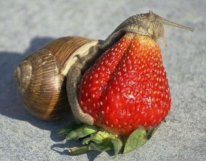 escargot-qui-avale-une-fraise