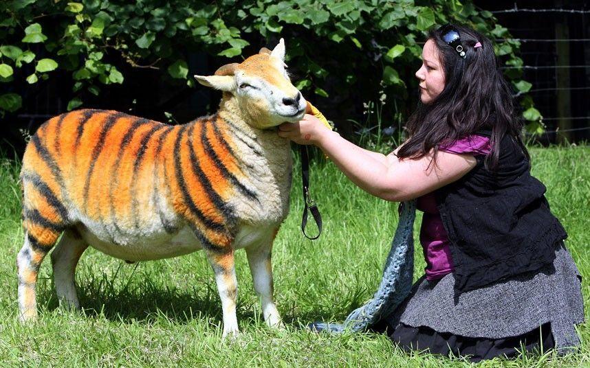 mouton-tigre