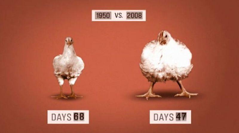 les-poulets-sont-devenus-obeses