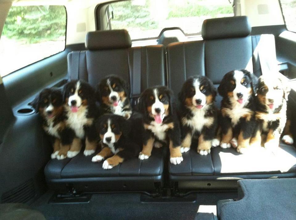 8-chiens-sur-banquette-arriere