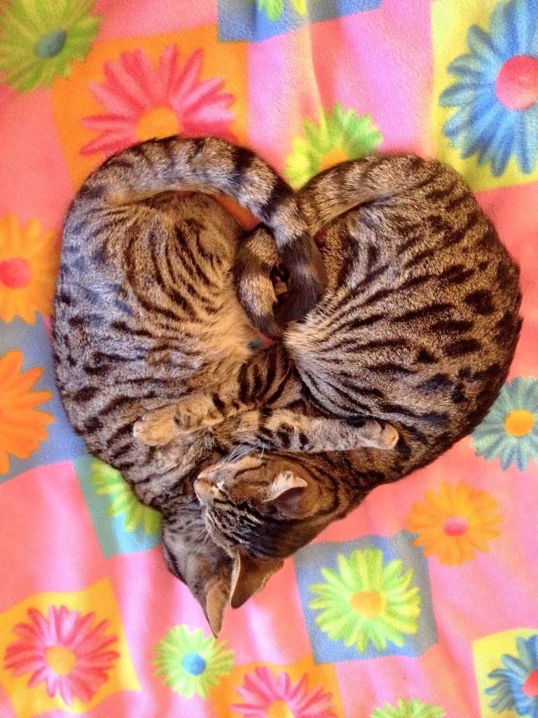 chatons-coeur