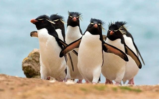 pingouins-cailleras