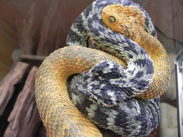 2-serpents-ecailles-qui-saccouplent