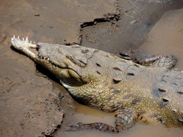 crocodile-sans-bouche-haut