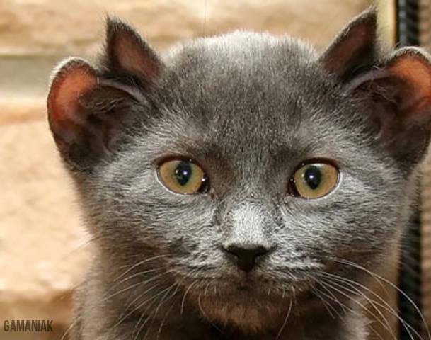 chat-avec-4-oreilles