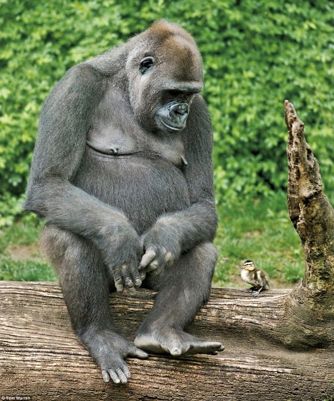 Image Photo Sans Titre - Gorille et Caneton