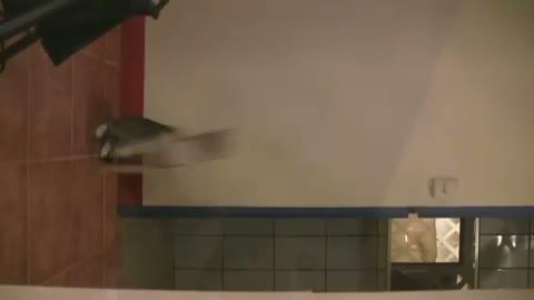 Un chat attrape une chauve souris en plein vol for Attraper souris maison