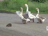 3 oies aident un hérisson à traverser la route