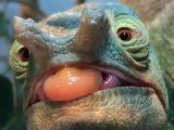 Un caméléon vu de près