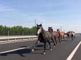 Des chevaux courent sur l'autoroute