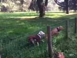 Un chien fonce dans une clôture
