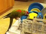Un perroquet qui aide à vider le lave-vaisselle