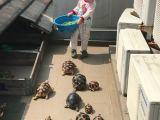 Des tortues affamées